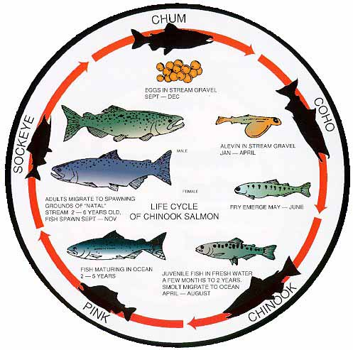 Circular image summarizing the 6 life-stages of chum, coho, chinook, pink, and sockeye starting with the egg stage, followed by alevin, fry emerging, juvenile fish, smolts migrating to the ocean, and maturing for 2-to-5 years in the ocean before returning to freshwater to spawn. Photo Credit public domain image from BPA photo archives with no specific credit information.