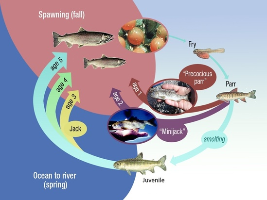 A circular depiction of the salmon lifecycle starting with an image of salmon eggs with an arrow flowing towards an image of a fry. This is followed by 3 parr of different ages, with age 1 precocious parr and age 2 mini-jack parr are heading straight to the ocean, versus the parr continues the regular path of smolting. The regular aged parr is followed by a juvenile fish that has finished smolting and is heading to the ocean. Then the circle completes by showing jacks and 3-different adult age groups (3-years, 4-years, and 5years old) returning to spawn.